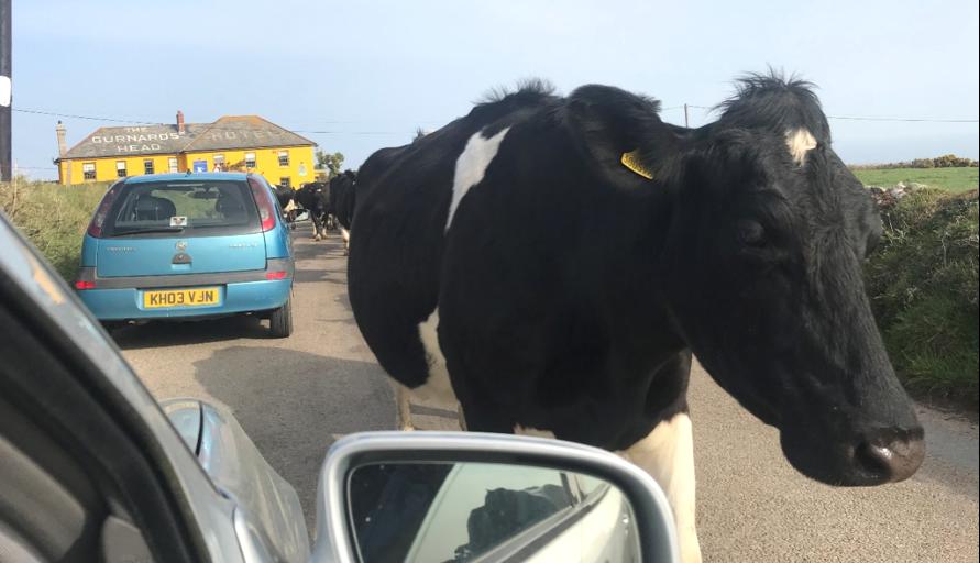 Cornwall Cow